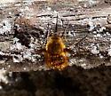 Bombylius sp. - Bombylius