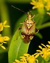 bug - Lygus