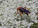 Orange-brown wasp - Tachypompilus ferrugineus