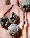 Willow Pinecone Gall Midge - Rabdophaga strobiloides