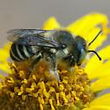 ID for a bee on Encelia? - Megachile