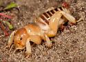 Point Conception Jerusalem Cricket - Ammopelmatus muwu - male