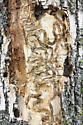 signs of EAB attack - Agrilus planipennis