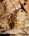 Unknown hornet or wasp. - Nomada - female