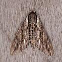 Sphinx Moth - Paratrea plebeja