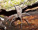 Large Spider - Dolomedes tenebrosus