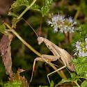 Mantis religiosa - European Mantis - Mantis religiosa - male