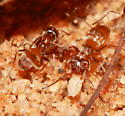 Ants - Forelius