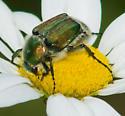 Green-brown flower scarab - Trichiotinus bibens