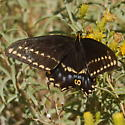 Swallowtail - Papilio indra