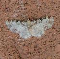 Eupithecia spermaphaga? - Eupithecia