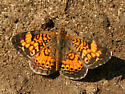 Pearl or Northern - Phyciodes tharos - male