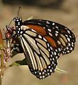 Danaus plexippus - female