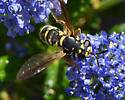 fly - wasp mimic on ceanothus - Ceriana tridens - female