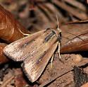 Scirpus Wainscot, 10455 - Leucania scirpicola