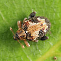 flea weevil - Tachyerges ephippiatus