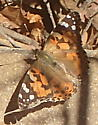 Unknown butterfly - Vanessa cardui