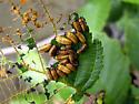 Macrolina - Chrysomela mainensis