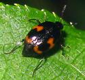 Shining Fungus Beetle - Scaphidium quadriguttatum