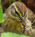 Helophilus syrphid fly captured by Palm Warbler? - Helophilus fasciatus