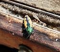 Green and tan metallic beetle - Buprestis viridisuturalis