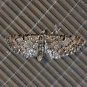 Common Eupithecia Moth - Hodges #7474 - Eupithecia miserulata