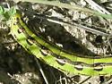 Sphingid larva - Hyles lineata