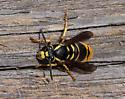 Yellowjacket Queen (Vespula sp.)? - Vespula vidua