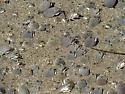 Pacific Mole Crab - Emerita analoga