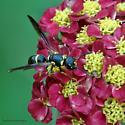 Potter Wasp? - Parancistrocerus perennis - female
