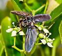 Unknown Fly - Trichopoda lanipes