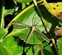 European Marsh Crane Fly - Tipula oleracea - female