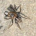 Spider - Naphrys pulex