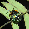 Colorful Beetle - Chinavia hilaris