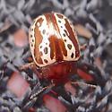 leaf beetle - Zygogramma arizonica