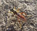 Fly - Xylomya americana