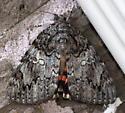 Catocala Moth - Catocala ilia