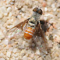 Chrysanthrax crocinus - male