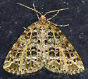 Checker-board Moth - Orthofidonia flavivenata