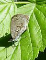 Elk Island Butterfly - Celastrina lucia