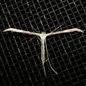 Emmelina monodactyla - female