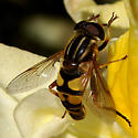 Yellow and Black Fly - Helophilus