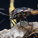 Bugs on the Brocolli Detail - Bagrada hilaris