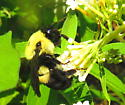Brown-belted bumble bee - Bombus griseocollis