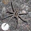 desert spider 1 - Hogna carolinensis