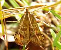 Moth 051014 ID - Nomophila nearctica