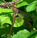 Umber Shadowdragon - Neurocordulia obsoleta - male