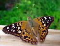 Hackberry Butterfly - Asterocampa celtis - male