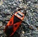true bug - Scantius aegyptius