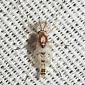 Midge - Coelotanypus concinnus - male